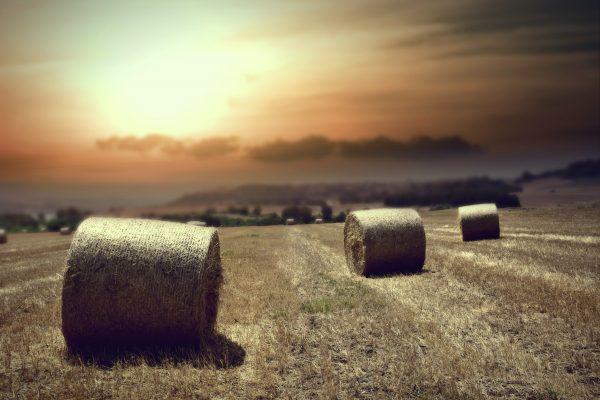 wheat-4105682_ Ioannis Ioannidis_Pixabay